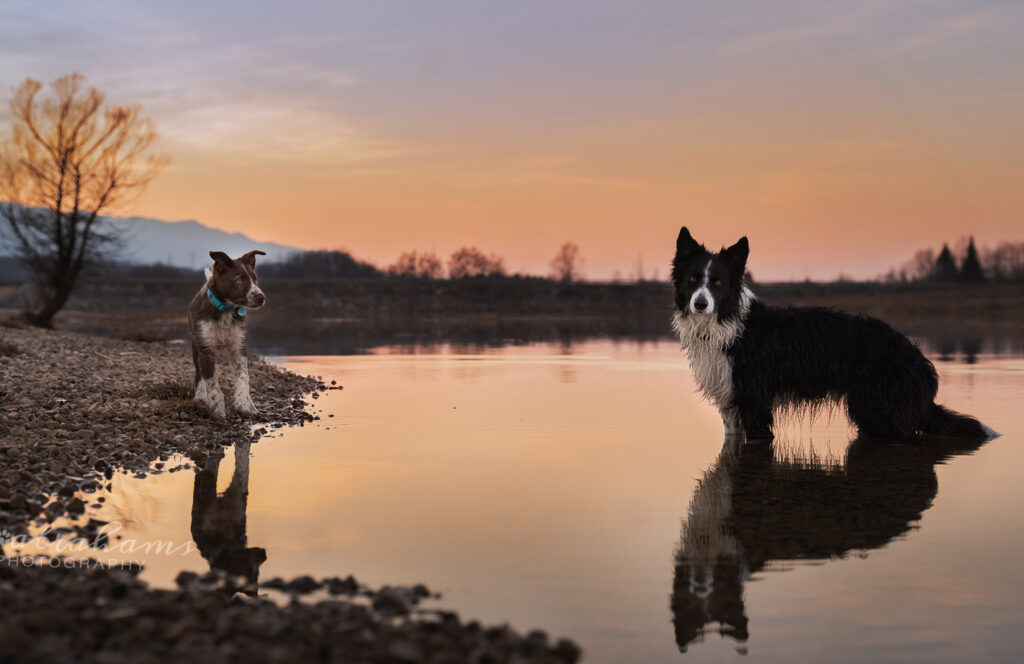 Two dogs at a lake with their reflections in the water, and beautiful sunset colours in the sky